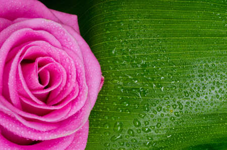 pink rose adn green leave with drops photo