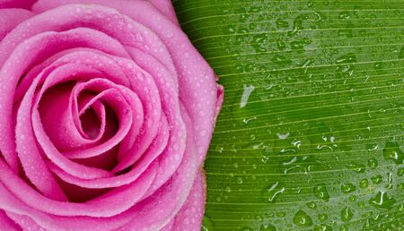 adn: rosa de ADN licencia verde con gotas