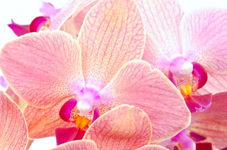 Pink orchid, closeup, on white background