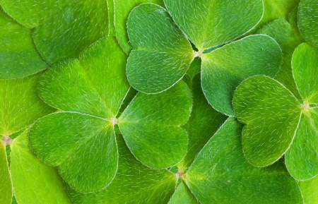 a texture of shamrock, macro photo