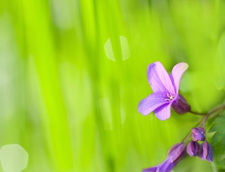 a violet flower on green background photo