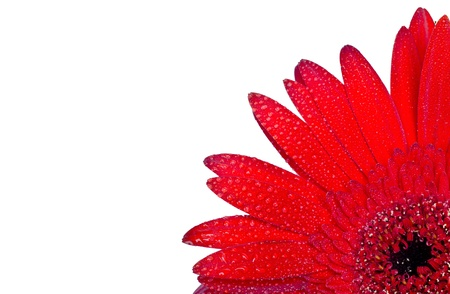 Red gerbera with drops , close-up