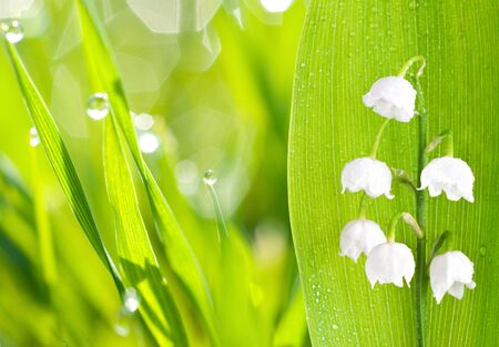 lily of the valley, on green background photo