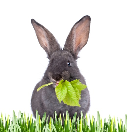 a eating rabbit on white