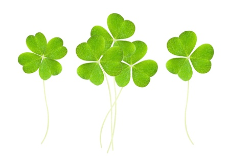 a clover isolated on white