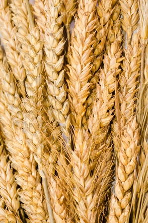 barley head: texture of ear of wheat