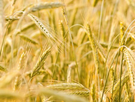 golden texture of ear of wheat Stock Photo - 16138562