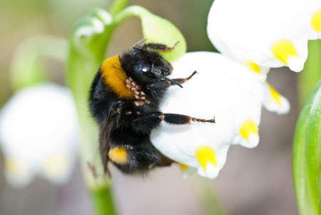 parasite on bumble bee, macro Stock Photo - 18903746