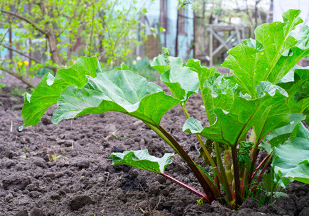 a green rhubarb on the garden