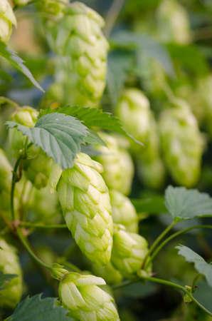 hopfield: a ripe green hops Stock Photo