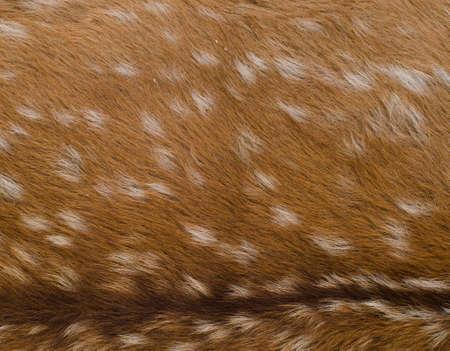 roebuck: animal nature fur