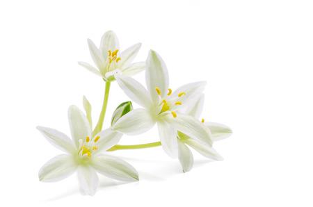 blossom of ornithogalum on white
