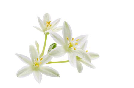 ornithogalum: blossom of ornithogalum on white
