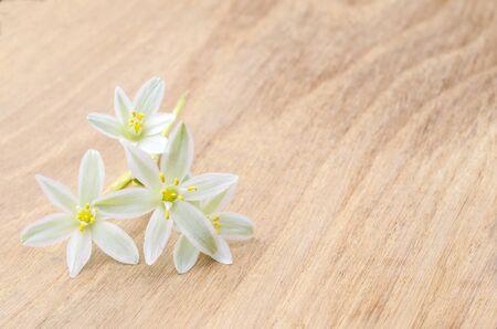 ornithogalum: blossom of ornithogalum on wood desk