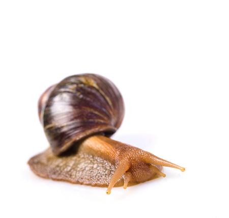 snail on a white background photo