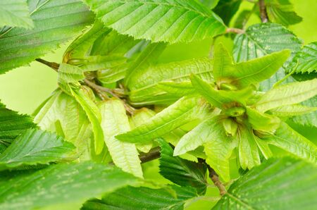 a background fron hornbeam leaves photo