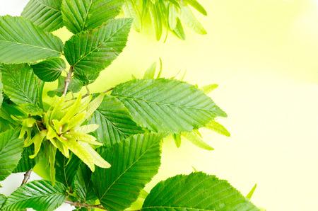 hornbeam: a background fron hornbeam leaves