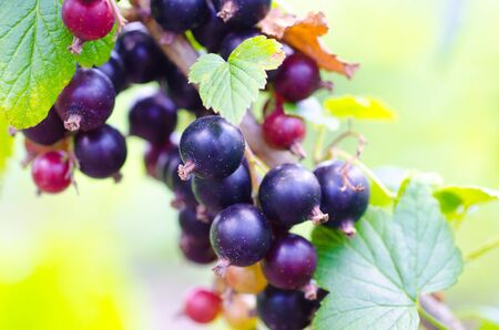 currant: black currant on branch