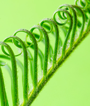 cycas: curls escaping the plant on a green background, cycas Stock Photo