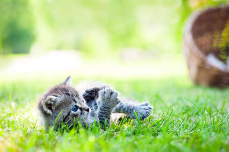 grass: gray kitten with blue eyes walking on the grass in sunny day