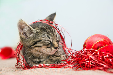 flor: Grey small Christmas kitten sleeping on a flor with Christmas red decoration