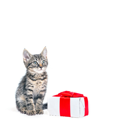shape cub: Cute kitten with present box on white background