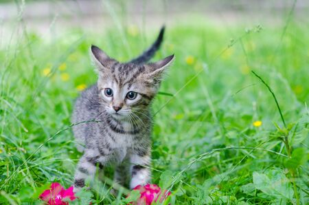pink pussy: small gray kitten on the grass, outdoor