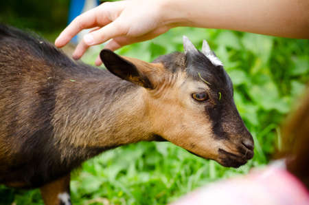 a little girl petting a small goat, on farm Stock Photo