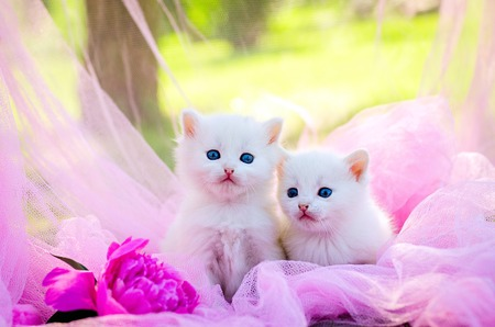 puppy and kitten: white two kitten on the pink background with flowers