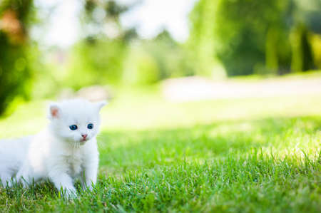 meowing: Cute little meowing white kitten in the garden