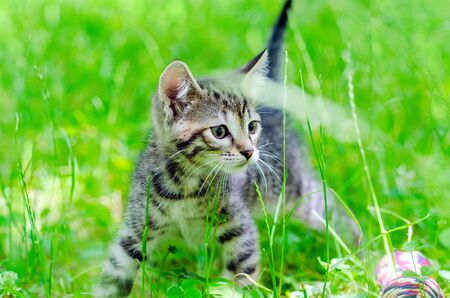 baby  pussy: small gray kitten on the grass, outdoor