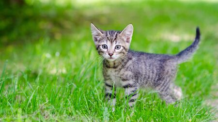 small gray kitten on the grass, outdoor