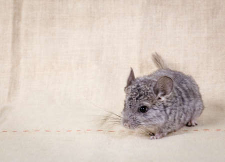 evaluable: Gray small  chinchilla on a clear background Stock Photo