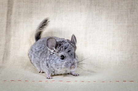 Gray small  chinchilla on a clear background Reklamní fotografie