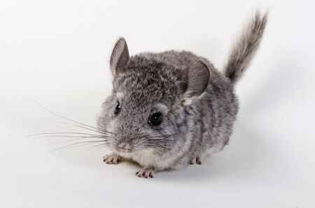 studioshot: Gray small  chinchilla on a clear background Stock Photo