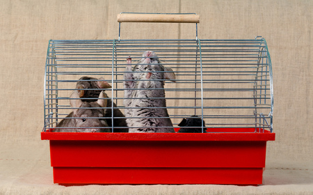 chinchilla: Chinchilla sit and watch in the cage