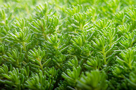 bush to grow up: succulent moss close up in a summer city park.