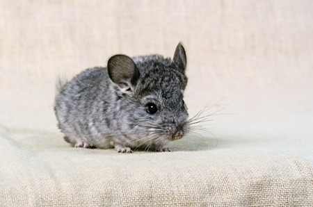 Gray small  chinchilla on a clear background Stock Photo