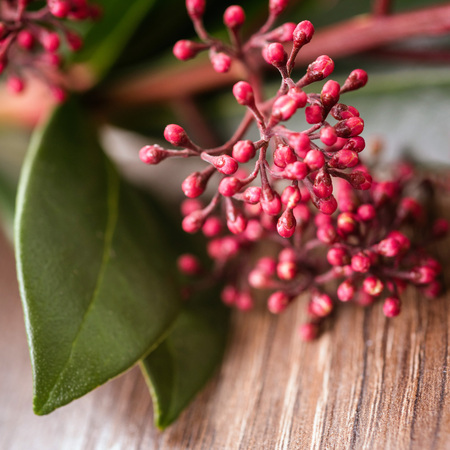 rubella: plant pink skimmia on the wooden background