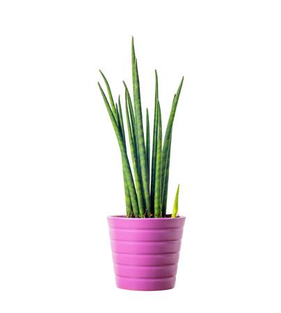 ポット - サンセベリア チガヤで装飾的な温室植物 写真素材