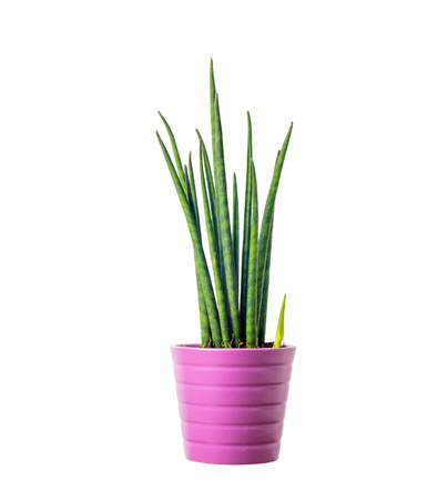 cylindrica: Decorative green house plant in the pot - Sansevieria cylindrica Stock Photo
