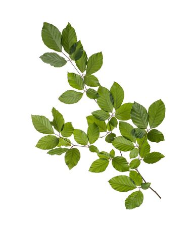 hornbeam branch with green leaves isolated on white background