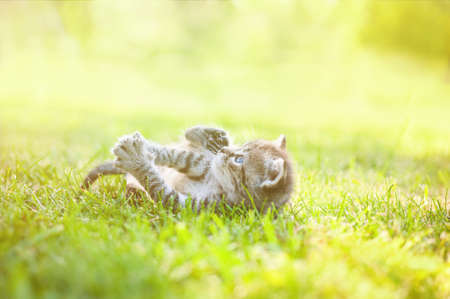 gray kitten with blue eyes walking on the grass in sunny day