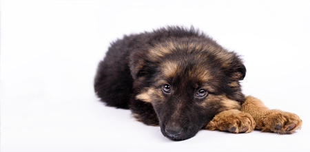 be bored one german shepherd puppy on a white background