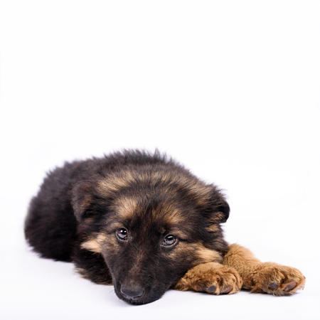 be bored one german shepherd puppy on a white background Banque d'images - 113226495