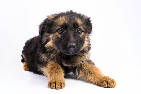 one german shepherd puppy posing on a white background