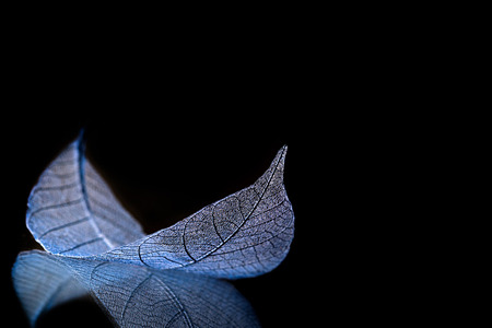 Skeleton leaves on blured background, close up