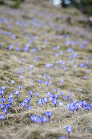 Blossom of crocuses at spring in Alps mountains