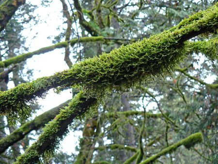 West Coast trees covered with moss Stock Photo