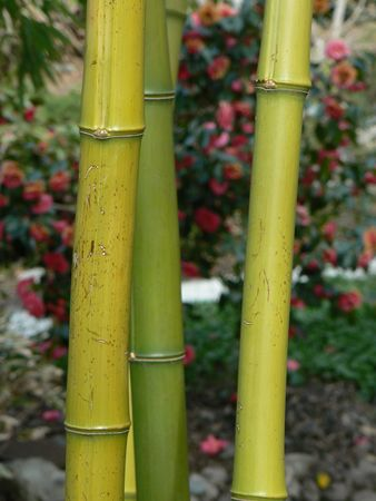 shurb: Three bamboo stalks with red blossoming rhododenron in the background